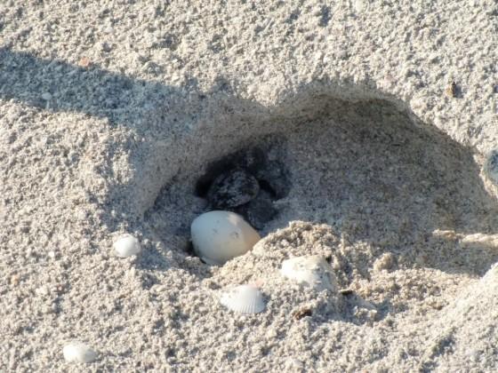 SchildkrötenkinderundEier