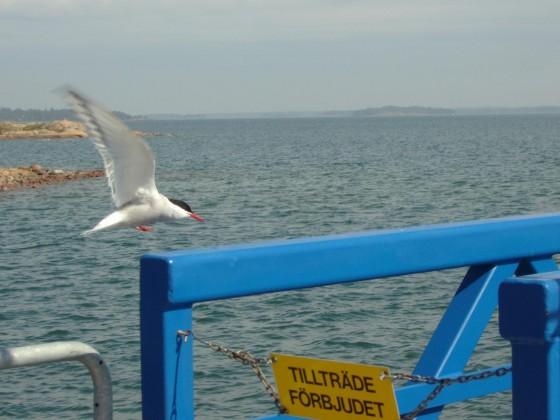 Åland - Seeschwalbe